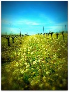 vignes printemps 2014